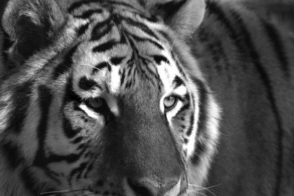 bw_siberian_tiger3