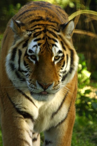 siberian_tiger1