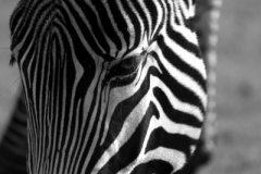 bw_grevys_zebra1