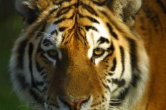 siberian_tiger2