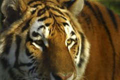 siberian_tiger3